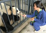 Full-Day Volunteer at Dujiangyan Panda Base with Panda Feeding. Chengdu, CHINA