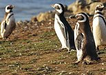 Walk with the Penguins in Martillo Island. Ushuaia, ARGENTINA