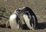 Excursión a la reserva de pingüinos de Punta Tombo desde Puerto Madryn, Puerto Madryn, ARGENTINA