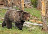 Yellowstone National Park Wildlife Tour from Cody, WY. Cody, WY, UNITED STATES