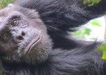 1-Day Chimpanzee Tracking Tour in Budongo Forest Reserve. Kampala, UGANDA