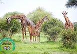 Safari Simba en Tanzania: 5 días. Arusha, TANZANIA