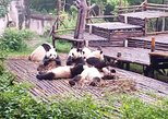Chengdu Giant Panda Base and Leshan Giant Buddha Private Tour. Chengdu, CHINA
