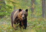 Small-Group Brown Bear-Watching Experience from Brasov. Brasov, ROMANIA