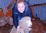 Visita a una granja de ovejas en Christchurch. Christchurch, NUEVA ZELANDIA