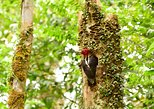 Excursão de Observação de Aves na Floresta de São José com Admissão ao Parque. San Jose, Costa Rica