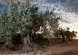 Olive oil tour and visit to Belchite old Town. Zaragoza, Spain