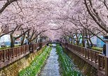 The Beauty of the Korea Cherry Blossom Discover 11days 10nights, Incheon, COREA DEL SUR