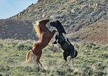 SOCIAL DISTANCING WITH SMALLER GROUP TOURS!Red Canyon Wild Mustang Tour 5:30pm.. Cody, WY, UNITED STATES