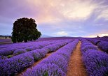 Bridestowe Lavender Farm Tour, Launceston, AUSTRALIA