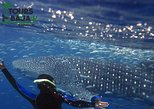 Swim with whale sharks in Baja California. Tijuana, Mexico
