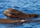 Excursión de 2 horas para grupos pequeños con avistamiento de ballenas. Tenerife, ESPAÑA