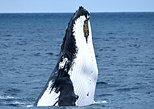 Whale-Watching Tour from Augusta or Perth with Optional Captain's Lounge Upgrade, ,