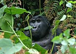 3 days Uganda Gorilla safari tour with relaxation on Lake Bunyonyi. Kampala, UGANDA