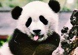 Giant Panda-Leshan Buddha Day tour. Chengdu, CHINA