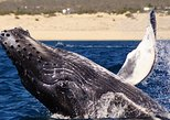 Cabo San Lucas Humpback Whale Watching Tour with El Arco. Los Cabos, Mexico