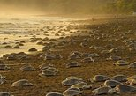 Turtle Nesting At Famous Playa Ostional, Tamarindo, COSTA RICA