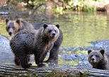 Great Bears of Bute: Grizzly Bear Viewing & Indigenous Cultural Tour. Isla de Vancouver, CANADA