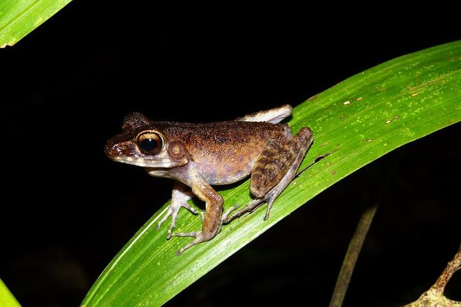 Join this 4 hour wildlife discover tour at Kubah National Park, and get up close and personal with wide range of Bornean frogs in this fascinating night walk in the tropical rainforest. Starting at 6pm in the evening, this tour only requires moderate level of fitness, and is inclusive of entrance fee, hotel transfer and a local English speaking guide.