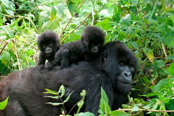 3 días de senderismo a Bwindi para ver gorilas, Kampala, UGANDA