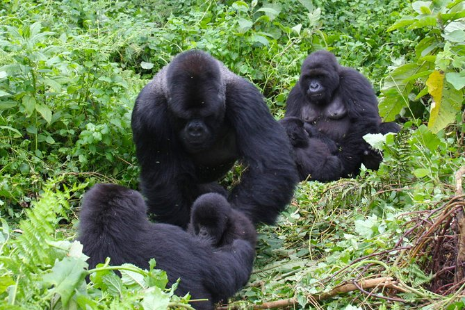 This 3 Day Gorilla Safari exposes you to Congo's mountain gorilla in the Virunga National Park in Congo offering you with the best wildlife experience. The tour starts and ends in Kigali in Rwanda. Democratic Republic of Congo is the least visited gorilla tourism destination which making a safari there surely adventurous.