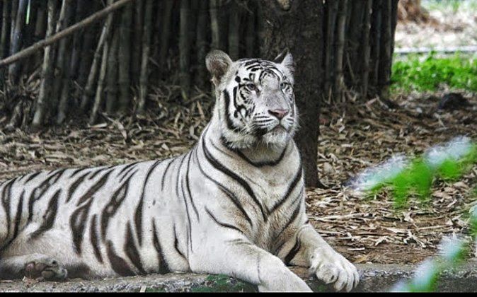 Arignar Anna Zoological Park, also known as the Vandalur Zoo, is a zoological garden located in Vandalur, a suburb in the southwestern part of Chennai. It is one of the largest zoos in South Asia with a total area of 1300 acres. The Arignar Anna Zoological Park houses around 170 species of mammals, birds and reptiles and 2,553 species of flora and fauna. In addition, you can also see rare species, such as Muscovy Duck, Bengal Tiger, European Brown Bear, White Tiger and more.