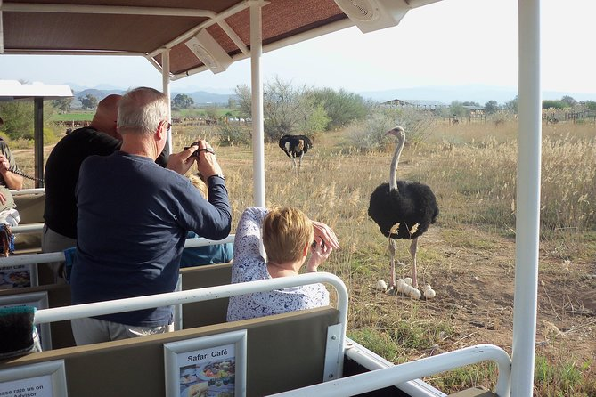 Safari Ostrich Farm Tractor Tour is the only Tractor Safari on an Ostrich Farm in the World. An awesome opportunity to take great photographs of the worlds largest and most ancient bird . Take the opportunity tosee different species of ostriches. Safari Ostrich Farm is the first show farm in South Africa where the Kenyan Red, Zimbabwe Blue and South African Birds can be viewed. You may even spot a rare White ostrich and the elusive Emu (also a Ratite from Australia). Learn about how we breed with and rear ostriches. Learn about the carving of eggs, uses for ostrich skins and feathers.<br>After the tour enjoy our café with a variety of ostrich dishes available on the menu. If you prefer chicken, vegetarian or gluten free, we cater for that too.<br>Come and enjoy our Klein Karoo hospitality at its best<br>Tour size is a max of 24 persons