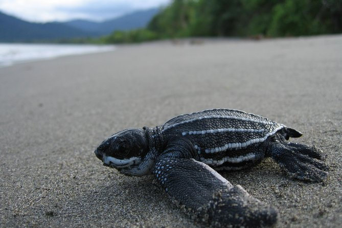 This turtle watching gives you the opportunity to see the endangered leatherback turtles coming on to the beach to lay their eggs. You can also assist with the tagging and recording of this ritual. The tour is 5 to 6 hours and only takes place from March to August. It will depart from your hotel/ pickup location in Port of Spain around 6pm.