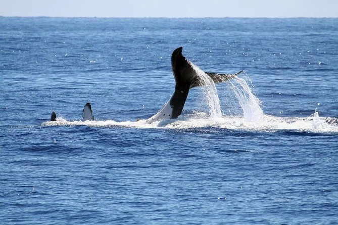 Experience this exciting whale watching tour. Your excursion will begin with a 9am pickup from your Cape Town orHederberg hotel, by your driver/guide. You will then be driven to Hermanus, about a 1.5 hour drive, where you will see Gordon's Bay, Pringle Bay, Betty's Bay,The Harold Porter Botanical Gardens, drive through Hamilton Russell Wine Estate,Fernkloof Nature Reserve, and of course enjoy a2-3 hour whale watching boat trip. A light lunch and entrance fees are included on this tour.