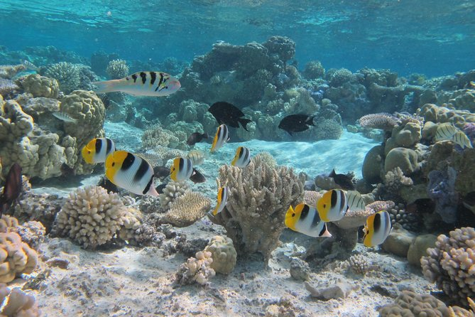Spend a leisurely morning visiting the best snorkeling locations around the lagoon of Bora Bora. During the 3.5 cruise, you will stop at 3 or 4 different locations where your guide will aim to show you manta rays, eagle rays, natural coral gardens and all sorts of tropical fish, everything that the lagoon can offer the day of the tour. Please note we are an eco friendly tour and everything we see is seen in its natural environment. We do not participate in any feeding of the animals. Due to the current health crisis we prefer that you bring your own masks and snorkels. Fins, towels, water and soft drinks are provided. Our guide joins you in the water at each stop to provide assistance if any is required and to point out things of interest. Small groups are guaranteed (maximum 4 to 6 people).