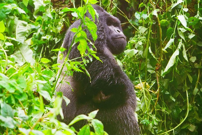 Established in 1970, and recognized as a UNESCO World Heritage Site in 1980, the Kahuzi Biega National Park is one of the only places to see eastern low-land gorillas. Also known as Grauer's Gorillas, this is the largest of all gorillas as a male can grow to be over 600 pounds and over 6 feet tall.