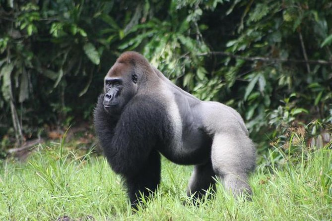There is a difference between a Zoo and Mefou National Park. That is one way to understate it...<br><br>Mefou National Park is unique, besides being one of the best attractions of Yaounde city. It's a place that is always trying to ensure primates' safety, you will encounter a different world filled with a lot of nature trails and see the best way to protect monkeys, gorillas and chimpanzees is not to put them in a cage.<br><br>You are going to be able to interact with them and see how they develop in their correct habitat.