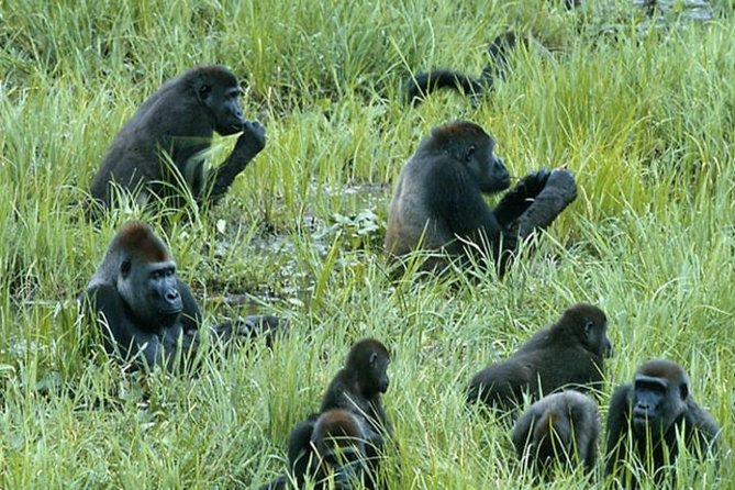 This tour covers part of Northern Congo and takes in the biggest group of wild gorillas in Africa, and one of its most untraveled and untouched game parks. Hike in the jungles, ride the Congo River and some of its most out-of-the-way and beautiful tributaries, see giant lowland gorillas as well plenty of chances to see other animals such as leopards, giraffes, chimpanzees, buffalo, elephants, hippos, and hundreds of species of birds and fish as well as perhaps some new ones.<br>**Tour is available to depart on Thursdays only and therefore cannot begin on any other day of the week.