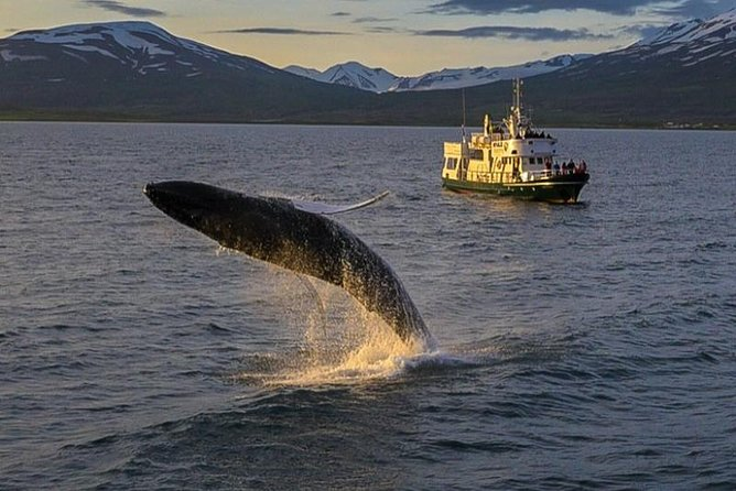 Explore the wildlife of Akureyri on this 3-hour tour of the fjord as the boat cruises calmly about the water. This tour takes you through prime whale watching areas while a professional guide enriches your knowledge of the ecosystem around you, as well as the history and the folklore of the area. Choose from one of many departure times when you book.