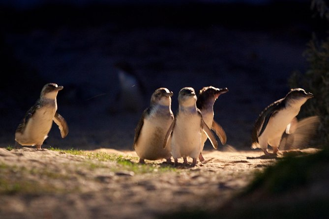 Here's the very best of Victoria's wildlife, nature and farming heritage. The Penguin Parade is an absolute 'must' on every visitor's itinerary, but this tour gives you so much more. First stop is Moonlit Sanctuary Wildlife Conservation Park, where you can get up close to wallabies on the wallaby walk (you may see little joeys peeking out of their mothers' pouches) and a koala (additional expense applies). <br><br>On tiny Churchill Island there's an 1850's heritage farm with strutting peacocks, shaggy Highland cattle, traditional draft horses, sheep shearing and working dogs in action. Then on to the Nobbies and Australia's largest Fur Seal colony at Seal Rocks. Finally, the ultimate attraction: hundreds of Little Penguins emerging from the ocean and waddling across the beach to their sand dune burrows. <br>