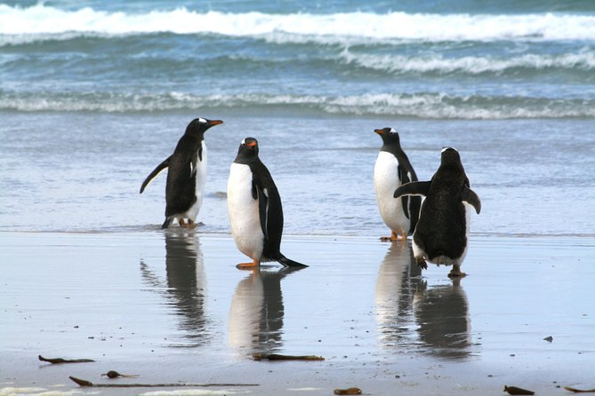 This 3.5-hour tour will take you towards the East coast of East Falkland, Berthas Beach, which is the home of 500 pairs of Gentoo Penguins. These penguins are the second largest on the Island, and you'll be able to observe them in their natural habitat. Watch them feed their young and dashing off to sea. Join this tour with 4 seats per vehicle and experience it yourself!