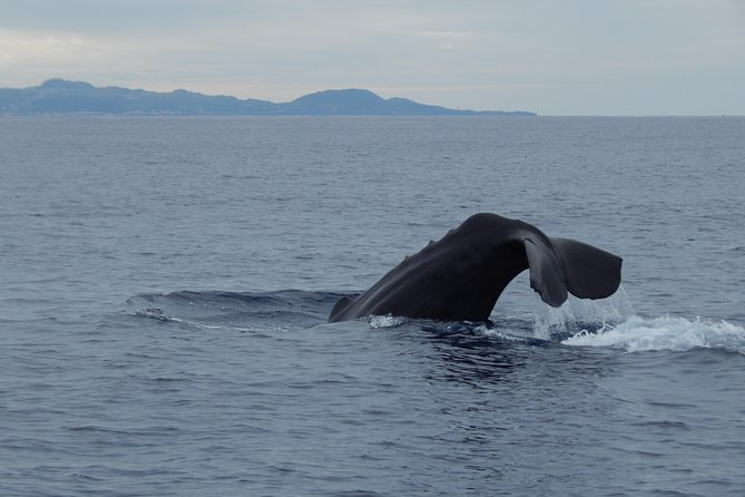 Observación de Ballenas y Delfines en las Azores, Isla Terceira | OceanEmotion, Terceira, PORTUGAL