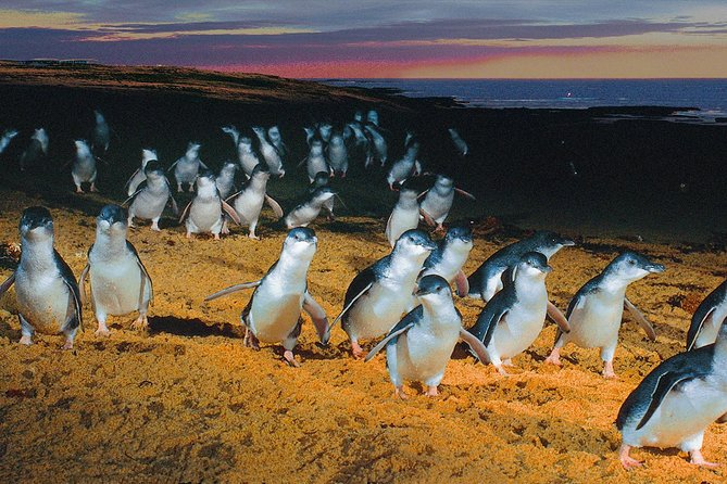 See penguins, koalas and kangaroos on a day trip to Phillip Island, Melbourne's wildlife wonderland and holiday island. Visit a wildlife park to see some koalas and kangaroos, then watch sea birds and fur seals in the rocky formation known as the Nobbies. At sunset, take your place at Summerland Beach to enjoy the nightly Penguin Parade, as cute little penguins waddle up the beach to their burrows after a day spent fishing at sea. To enhance your Penguin Parade experience, choose from a range of upgrade options: view the penguins from an exclusive viewing platform with Penguin Plus, interact with rangers and watch the parade from the exclusive Skybox, or choose the Ultimate Penguin Parade and enjoy a specially guided small-group tour at a secluded beach location. <br><br>Note: Nobbies viewing is seasonal and dependent on daylight hours