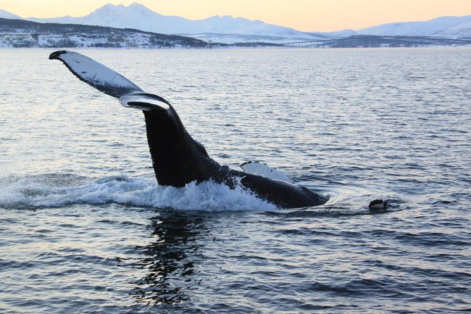 MÁS FOTOS, From Tromso all-inclusive Whale and Seabird Safari by Boat to Skervøy