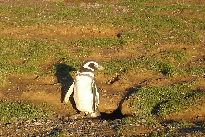 This excursion will take us out into the legendary Straits of Magellan to visit the amazing bird life on Magdalena Island. There are reportedly between 30,000 and 40,000 pairs of Magellanic penguins in this island.