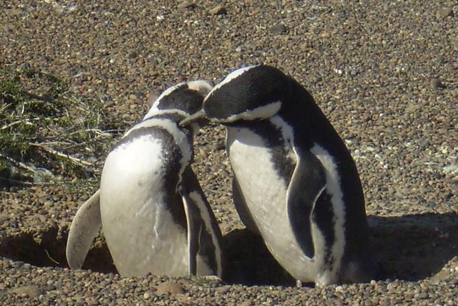 This is one of the must-see in the area. The visit Punta Tombo Penguin Reserve, the most important continental colony of penguins in South America<br><br>PLEASE NOTE, ONLY AVAILABLE WITH PICK UP FROM A HOTEL IN PUERTO MADRYN. NOT AVAILABLE FOR CRUISERS. IF YOU´RE LOOKING FOR A VISIT FROM A CRUISE, CHECK OUR PUNTA TOMBO TOUR FROM CRUISE PORT