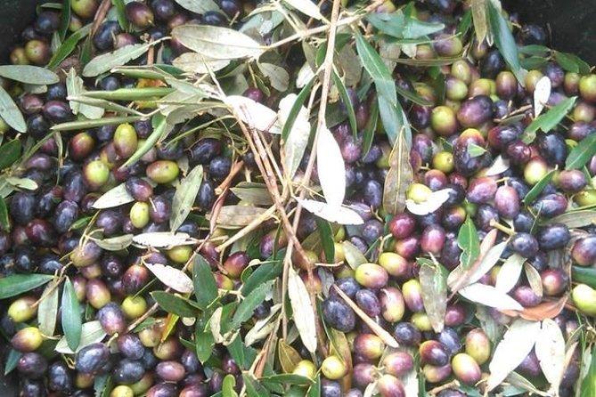 Olive Oil Making Experience Day Trip from Alberobello or Brindisi, Alberobello y Locorotondo, ITALIA