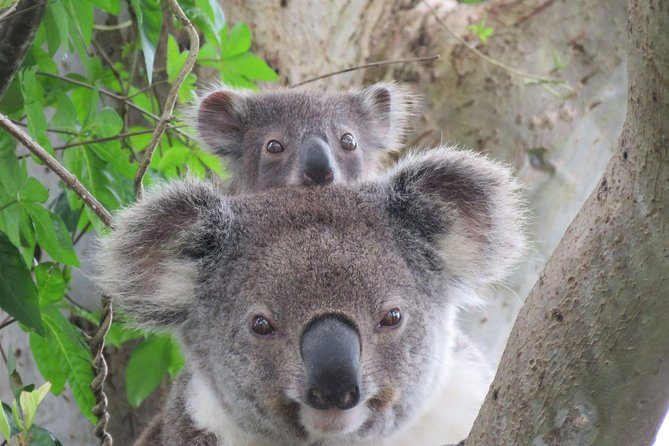 We guarantee you'll see a koala or two, a mob of kangaroo, a whole colony of flying fox and many species of bird. If conditions are right you may also see pademelon, echidna, tawny frogmouth and water dragons.<br><br>All of our guides are environmental scientists. They will help you learn to spot the different between a kangaroo and wallaby, or a grey-headed flying fox and a black one.<br><br>Along the way you will be amazed at the abundant birdlife. Native hens, ducks and waders; noisy colourful parrots; iconic kookaburra; magpies; currawong; tiny flitting wrens and robins, are just some of the birdlife we see on this tour.<br><br>