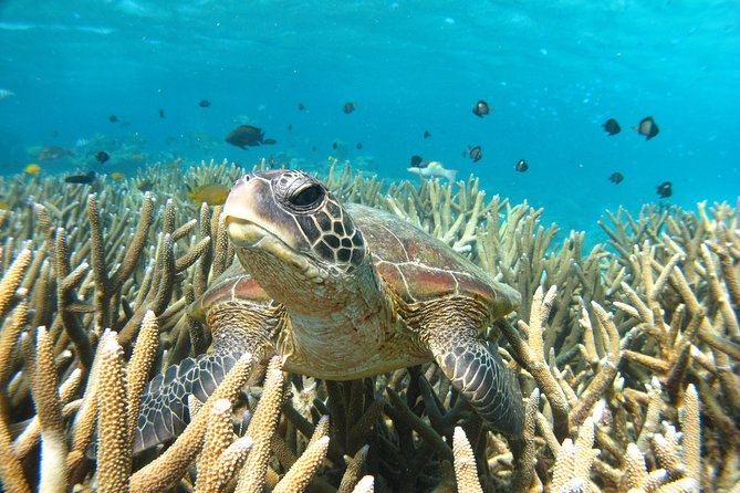 Join our Turtle Eco Tour on theGlass Bottom Boat to see the Ningaloo Reef from a different perspective. Viewturtles in theirnatural habitat &enjoysnorkelingon the reef. Turtles can be seen all year round.