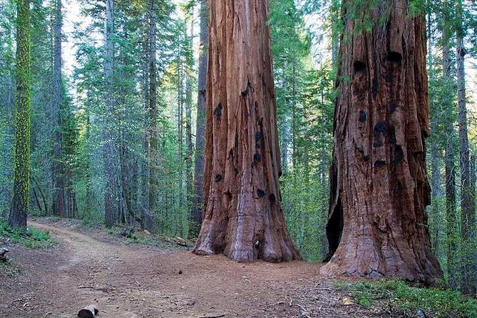 The Tuolumne and Merced Groves are secluded, peaceful hiking trails accentuated by the towering Sequoia trees reaching out of view. The Giant Sequoias grow up to nearly 300 feet high and 26 feet in diameter, making the largest living things on Earth, and can live to be over 3,000 years old!