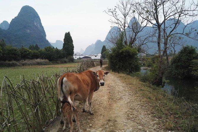 This 5-hour long private hiking tour can be start form Guilin or Yangshuo.It shows you the most beautiful parts of the world-famous Li River. Witness the charm of the Li River off the beaten track and stay away from the noisy crowds. During this hiking, the most typical karst landscape will be appreciated from a high view angle. You will probably meet water buffaloes, mountain goats, cows, ducks and other animals and birds. You may also come across the fishermen and their cormorants.