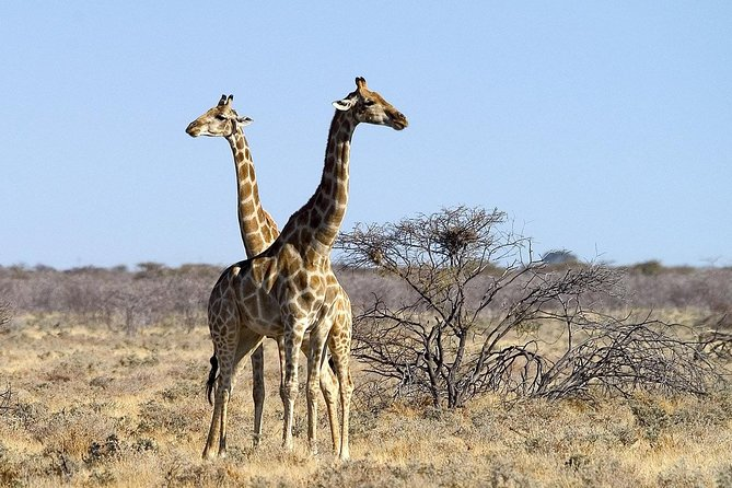 This tour gives a close encounter with nature getting a memorable time with wildlife and the beautiful nature. This 4 day/2night safari starts in Windhoek every Friday and ends in Swakopmund. You will spend 1 full day and 1 half day game driving through Etosha National Park, one of Southern Africas best national parks.