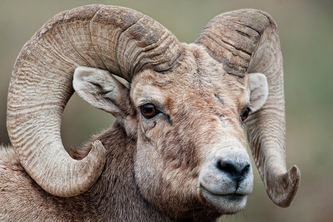 Enjoy a Evening Wildlife Safari leaving from Estes Park in RMNP. Each tour is limited to 4 guests and private so each trip is just for you and your group. We will pick you up outside the office of your Estes Park hotel at the time we confirm, usually 5pm or later but adjusted depending on the exact date. <br><br>Yellow Wood Guiding Wildlife Safaris are driving tours with many stops as we travel across Trail Ridge Road. Our tours are designed to both provide great views of wildlife, but also learn extraordinary information about these amazing animals and the wonderful Rocky Mountain ecosystem. <br><br>Nearly every Summer Safari we see Moose cows and sometimes bulls, Elk bulls and cow herds with calves, Mule Deer, Bighorn Sheep on the distant mountains through the spotting scope, Yellow-bellied Marmots, American Pika, and a number of small cute critters only found in the Rockies like Least Chipmunk, Ground Squirrels, many different birds and some hawk & eagles.<br>