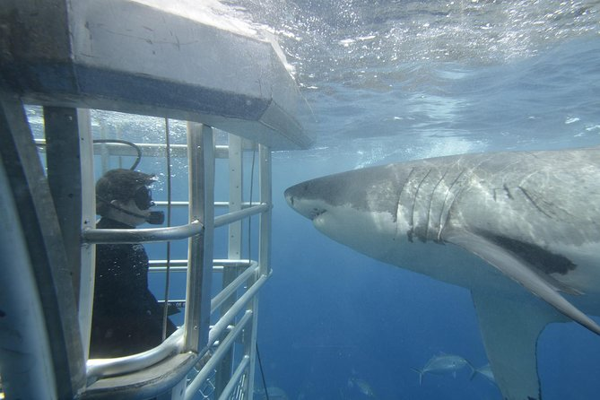 "Get out onto the water with the White Sharks! If there is one thing you must add to your bucket list, it has to be shark cage diving with Great Whites! Featuring Australia's first advanced eco-certified shark cage diving experience, this tour offer visitors the once-in-a-lifetime opportunity to view the legendary Great White Shark in its natural habitat. Listen to your favourite music and ""Rock Out"" with the Great White Sharks! For an extra fee ($175) payable on-site, you can dive in the cage and get face-to-face with some White Sharks! view Great White Sharks in their natural habitat. Included in the observer price is access to a glass viewing area with a 360 degree underwater view, you can see sharks while staying completely dry!"