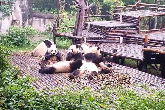 Explore this panda wonderland and see active pandas and visit Leshan Giant Buddha by taking high-speed train. Tasty local lunch, entrance fees, round trip high-speed train fare, private guide and transfer service are all inclusive.